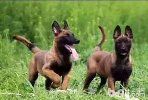 a_马犬和卡斯罗哪个好?马犬vs卡斯罗-狗狗品种[新闻]