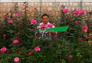 资讯生活云南:锦苑成切花月季育种大鳄