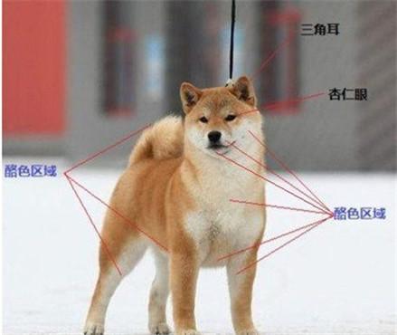 挑选柴犬的注意事项是什么?选购柴犬有妙招!